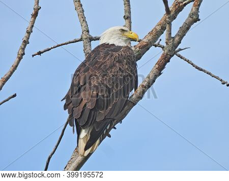 American Bald Eagle: Majestic American Symbol Bald Eagle Bird Of Prey Raptor Perched On A Bare Tree