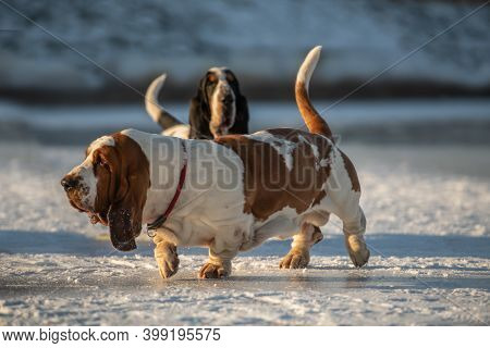 Two Basset Hounds. Two Dogs In Winter.