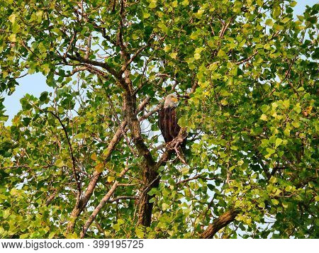 A Bald Eagle Bird Of Prey Raptor Majestically Perched High In Tree Top Surrounded By Green Leaves On