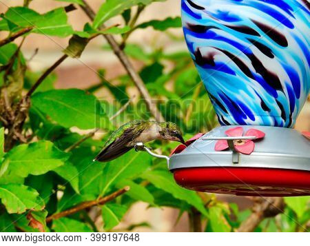 Ruby-throated Hummingbird Perched On A Nectar Bird Feeder Showing His New Red Feathers On The Throat