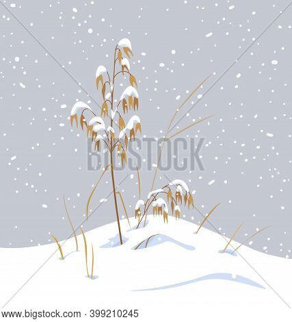 Winter Snow Covered Meadow Plants. Wild Cereals Under The Snow On Gray Background. Winter Scenery Fr