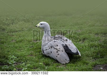 Cape Barren Goose (cereopsis Novaehollandiae) Sitting And Resting In The Grass