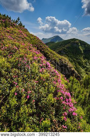 Pink Rose Rhododendron Flowers On Summer Mountain Slope. Marmaros Pip Ivan Mountain, Carpathian, Ukr