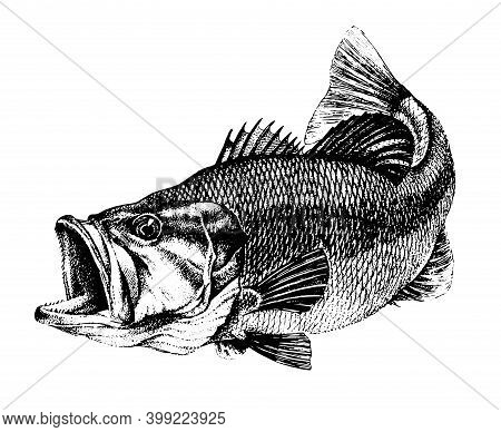 Bass, Micropterus Salmoides. Fish Collection. Healthy Lifestyle, Delicious Food, Ichthyology Scienti