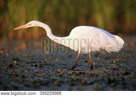 The Great Egret (ardea Alba), Also Known As The Common Egret  Or Great White Heron Fishing In The Bl