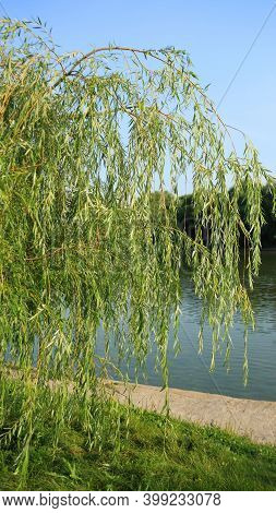 Weeping Willow In City Park At Day