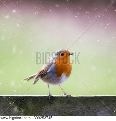 Robin, erithacus rubecula, in the falling snow, perched on wooden fence with space for text. Festive design for Christmas card and seasonal projects.