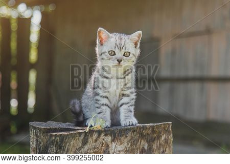 Little Gray Cute Kitten Sitting On A Wooden Stump In Nature