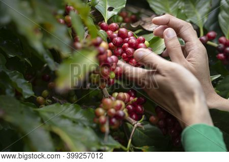 The Motion Of Hand Farmer Picking Red Coffee Bean In Coffee Process Agriculture Background.