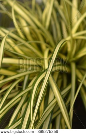 Striped Weeping Sedge Evergold - Latin Name - Carex Oshimensis Evergold