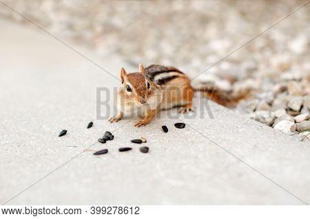 Cute Small Striped Brown Chipmunk Eating Sunflower Seeds. Yellow Ground Squirrel Chipmunk Eating Fee