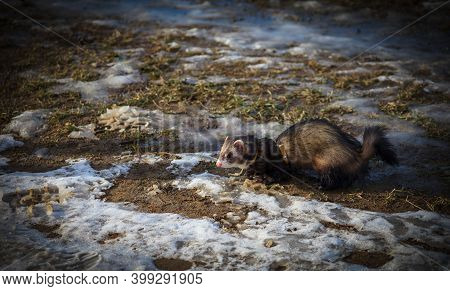 Ferret On Walk In The Winter Time
