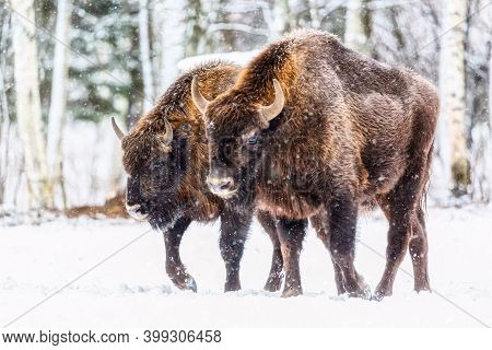 Large Brown Bisons Wisent Group Near Winter Forest With Snow. Herd Of European Aurochs Bison, Bison