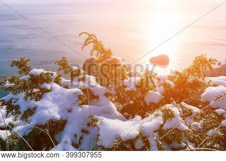 Juniper Branches And Cones Under Snow And Ice, Illuminated By Sunlight. Juniperus Oxycedrus. Winter
