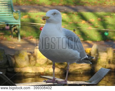 Beautiful And Funny Seagull On Green Grass. Single Seagull Bird Standing In Grass. White Bird Seagul