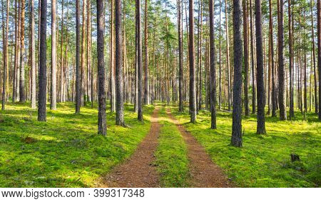 Dirt road in pine forest