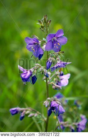 Geranium Sylvaticum, Known As Wood Cranesbill Or Woodland Geranium.