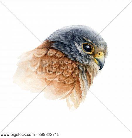 Falcon Bird Portrait Watercolor Illustration. Hand Drawn Close Up Realistic Kestrel Head Image. Wild