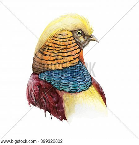 Pheasant Bird Head Watercolor Image. Bright Male Bird With Yellow And Blue Feathers On White Backgro