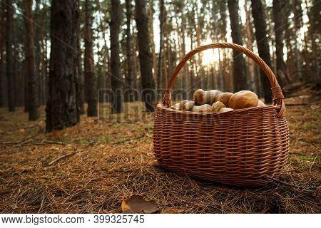 Basket Full Of Fresh Porcini Mushrooms In Forest