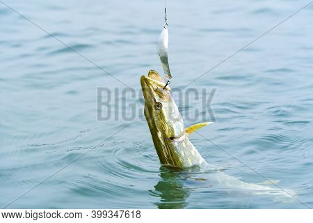 Fish Pike Caught On A Hook In A Freshwater Pond. Fishing At Baltic Sea