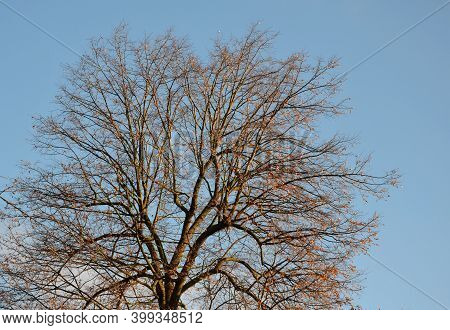 Linden Tree Crown About A Hundred Years Old Against A Blue Sky In Winter Without Foliage. It Has Dar
