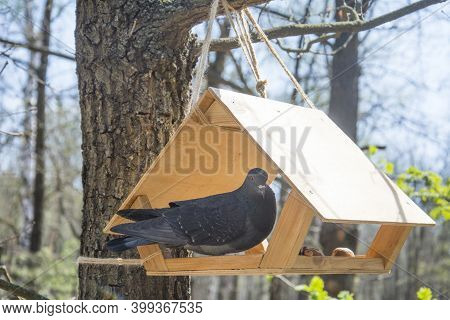 Rock Dove, Rock Pigeon, Or Common Pigeon (columba Livia) Is A Member Of The Bird Family Columbidae.