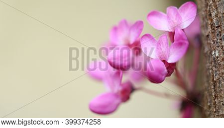 Beautiful Spring Blooming Of Cercis Chinensis Or Chinese Redbud Tree, Pink Flowers Closeup On Light