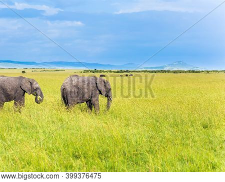 The famous Masai Mara Reserve in Kenya. Africa. Pair of steppe elephant. Elephants are the largest land mammals. The concept of ecological, exotic, extreme and photo tourism