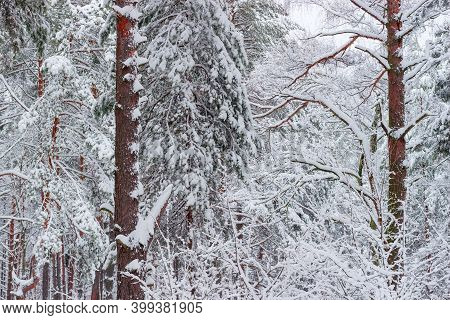 Branches And Trunks Of The Pines And Deciduous Tree Covered With Newly-fallen Fluffy Snow In Forest,