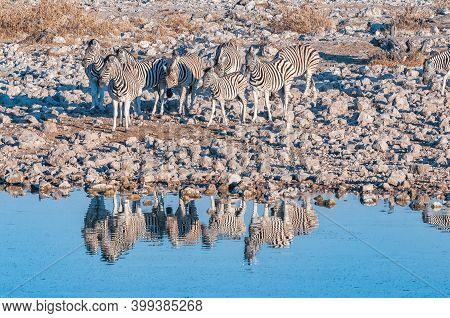 Burchells Zebras, Equus Quagga Burchellii, At A Waterhole In Northern Namibia