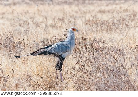A Secretary Bird, Sagittarius Serpentarius, On The Ground And Looking To The Right In Northern Namib