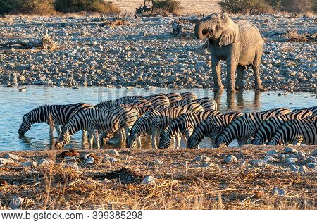 African Elephant And Burchells Zebras At The Okaukeujo Waterhole In Northern Namibia