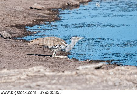 Side View Of A Kori Bustard, Ardeotis Kori, Drinking Water. It Is The Heaviest Bird Capable Of Flyin