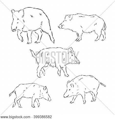 Wild Boar, Vector Hand-drawn Modern Illustration. Wild Boar Vector Sketch Illustration