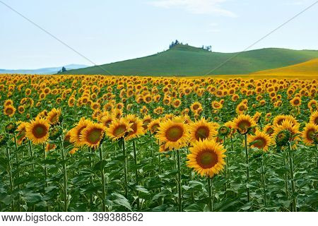 Field Of Sunflowers.\n Yellow Sunflowers Grow In The Field. Agricultural Crops.\neast Kazakhstan Reg