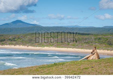 Kangaroos - Australia