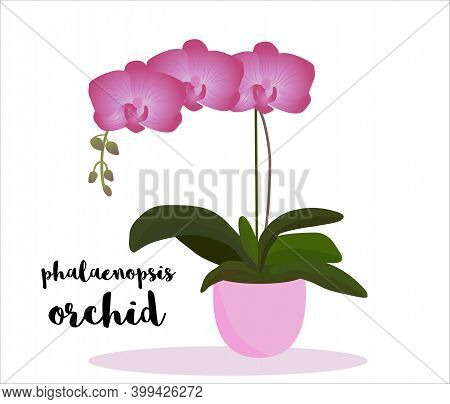 Phalaenopsis Orchid Potted.  Text With Name Of Flower. Vector Illustration. Gardening, Indoor Garden