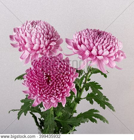 Bright Beautiful Three Pink Chrysanthemum Flowers On A Silver Background