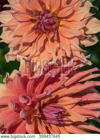 many dahlias in a german garden at summer time