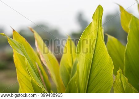 Curcuma Longa Or Turmeric Green Leaves Close Up View Inside The Agriculture Farm In Bangladesh