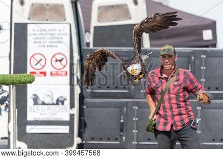 Blandford Forum.dorset.united Kingdom.august 24th 2019.a Bald Eagle (haliaeetus Leucocephalus) Is Be