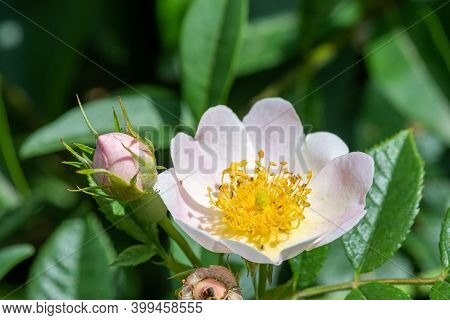 Close Up Of A Dog Rose (rosa Canina) In Bloom