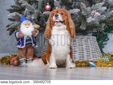 Cavalier King Charles Spaniel Sitting In Front Of Christmas Tree