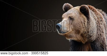 Predator, Brown Bear Portrait Isolated On A Dark Background.