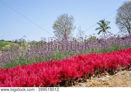 Field Of Red Plumed Celusia Or Wool Flower And Purple Vervian Or Verbena Flower Blossom On Green Lea