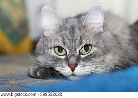 Adorable Fluffy Silver Siberian Cat With Big Greenish Eyes Lying On A Carpet And Looking At Camera.