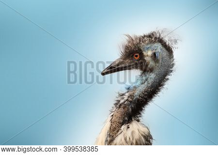 Detail Of The Head Of Australian Bird, A Emu Isolated On Blue Background