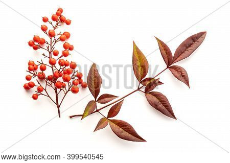 Nandina Domestica Isolated On White Background. Heavenly Bamboo With Beautiful Red Berries And Leave