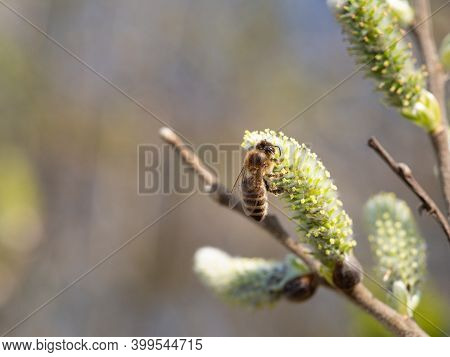 Honey Bee, Insect Feeding On Catkin In Springtime, Tree Blooming In Spring, Collect Nectar